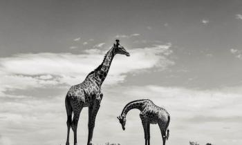 SHAMWARI_AFRICA_DO_SUL_0109-01759_11880_PhRag_Dark_66,5x100