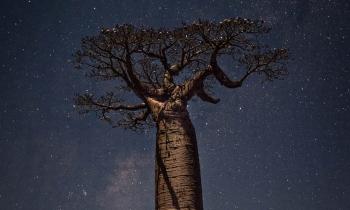 Baobá , Alameda dos Baobás, Morondava, Madagascar, 2018. (32mm) - Zoom 24-70/2.8