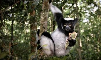 Indri, o maior dos Lêmures. Reserva especial de Analamazotra, Andasibe, Madagascar,2017. (48mm)- Zoom 24-70/2.8