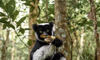 Indri na reserva especial Analamazotra, Andasibe, Madagáscar, 2018.  (40mm) Zoom 24-70 /2.8