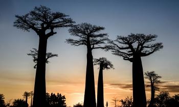 Fim do dia na Alameda dos Baobás, Morondava, Madagascar, 2017. ( 48mm) - Zoom 24-70/2.8
